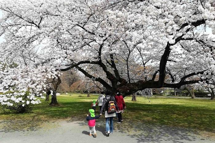 植物園の桜